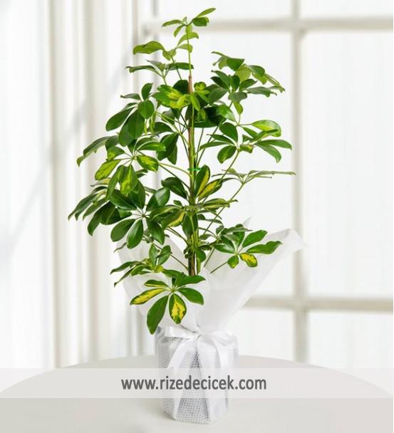 Schefflera (Şeflera) Bitkisi