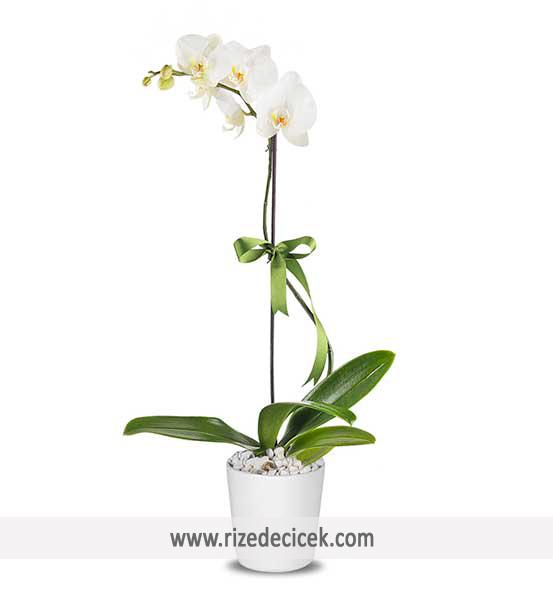 Tek Dal İthal Orkide
