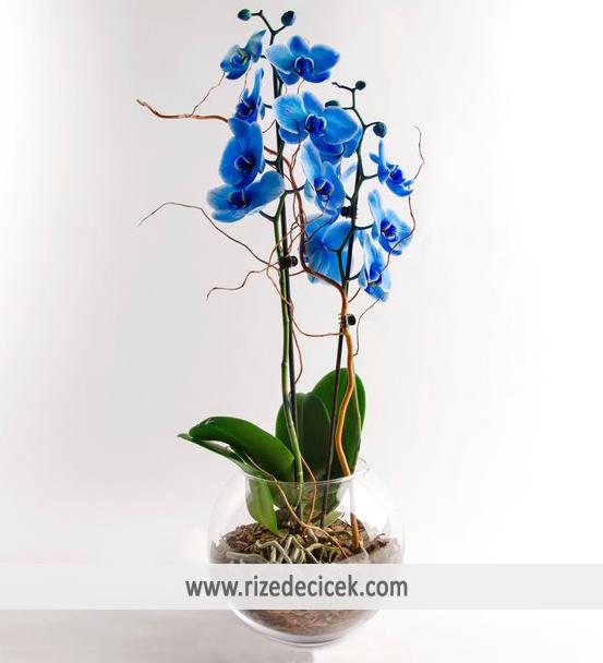 Cam Saksıda Mavi Orkide