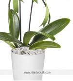 2 Dal Mor Orkide