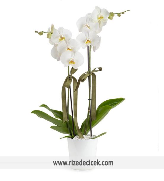 Çiftdal Beyaz Orkide