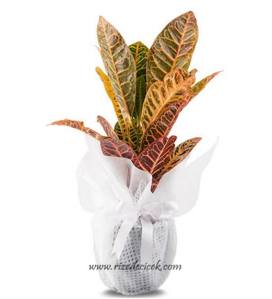 Kraton Saksı Çiçeği